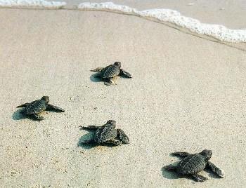 Le tartarughe marine nascono anche nelle spiagge molto for Tartarughe appena nate
