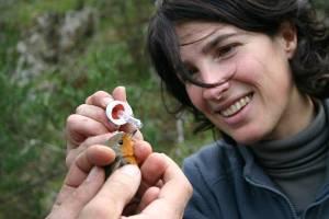 Pettirosso (Erithacus rubecola) liberato durante l'attività antibracconaggio