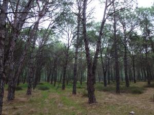 Oristano, pineta litoranea di Torregrande