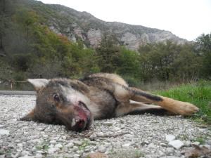 Apecchio, Lupo morto investito da auto (2 novembre 2013)