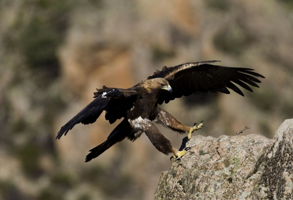 Aquila reale (Aquila chrysaetos) da http://www.domenicoruiu.it/