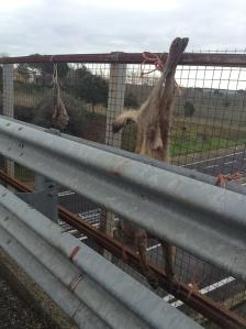 Tarquinia, Lupo massacrato (24 gennaio 2014)
