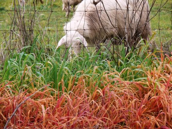 Pecora che bruca l'erba in prossimità di una cunetta stradale diserbata