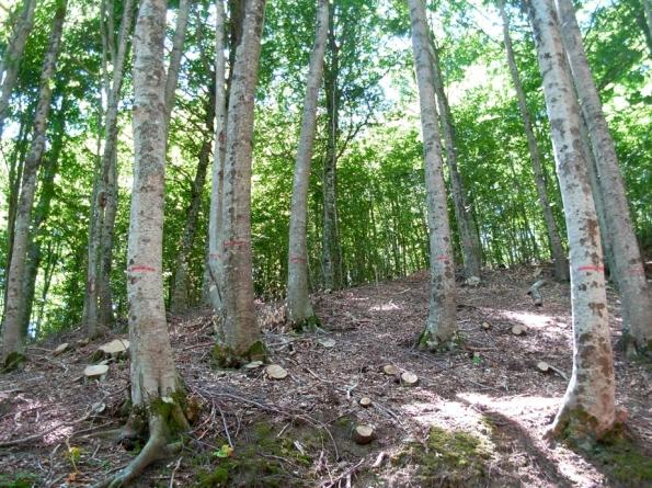 un buon esempio di riconversione del bosco ceduo in bosco ad alto fusto (Faggeta)