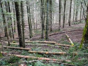 un buon esempio di taglio a scelta (pianta per pianta), così da lasciare un bosco vivo, con tutte le sue caratteristiche