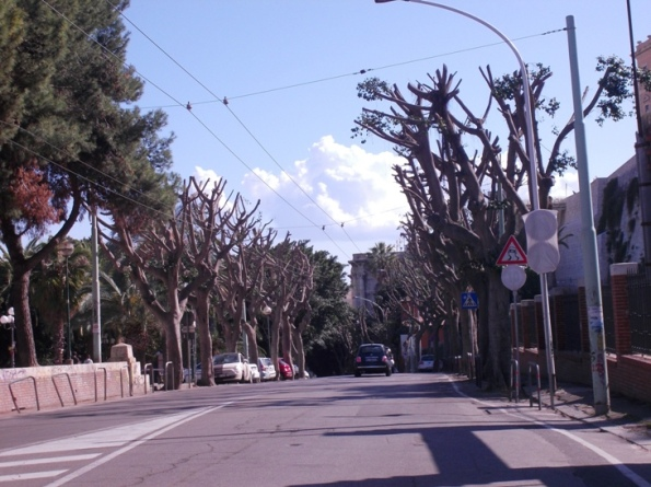 Cagliari, Viale Regina Elena, potatura Ficus (aprile 2014)