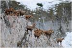Camosci appenninici (foto archivio Parco nazionale della Maiella, A.Antonucci)