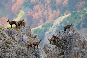 Camosci appenninici (foto archivio Parco nazionale della Maiella, A. Antonucci)
