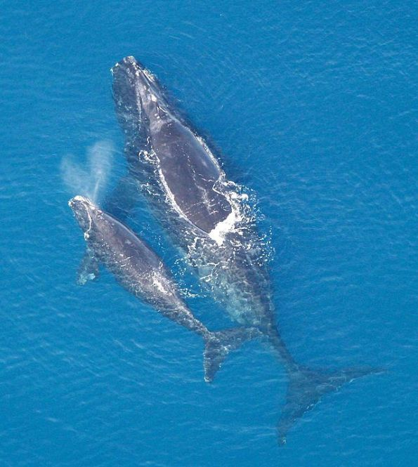Balena franca nordatlantica (Eubalaena glacialis) con piccolo