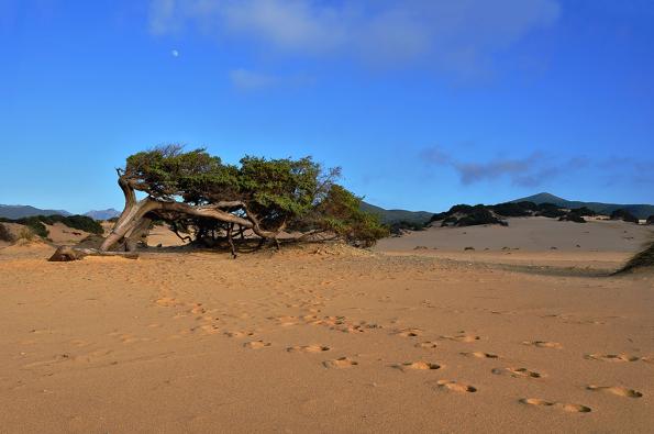 Ginepro sulle dune