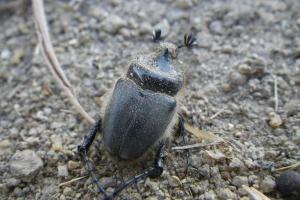 coleottero Pachypus sardiniensis
