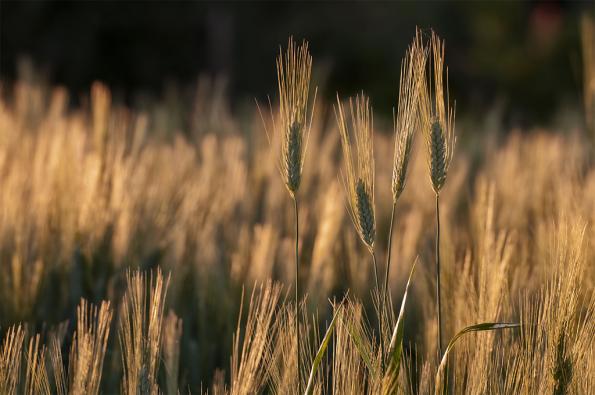 quattro spighe nel campo di grano
