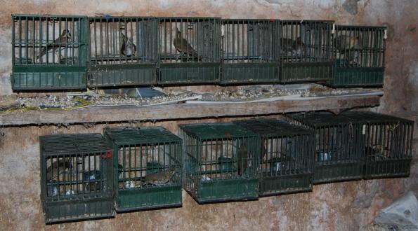 uccelli utilizzati come richiami vivi