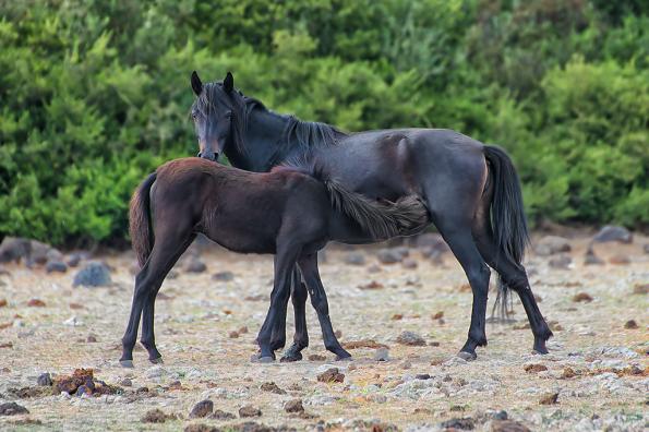 Cavallina della Giara con puledro (Equus caballus jarae)