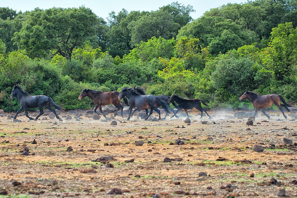 Cavallini della Giara, branco (Equus caballus jarae)