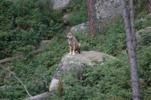 Lupo (Canis lupus)