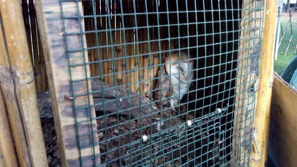 Piazzola sul Brenta, Fiera di San Martino, Barbagianni  (Tyto alba) esposto in una piccola gabbia (nov. 2014)