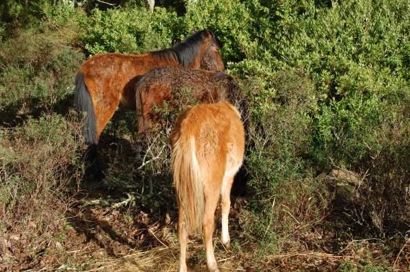 Cavallini della Giara presso un sito di distribuzione del foraggio (7 dicembre 2014)
