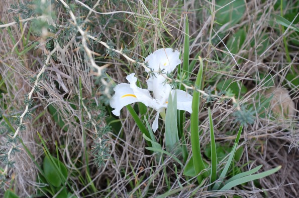 Iris planifolia, variante bianca