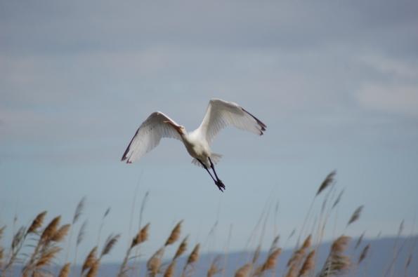 Airone bianco maggiore (Ardea alba))
