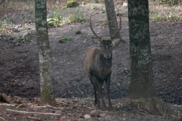 Cervo sardo (Cervus elaphus corsicanus)