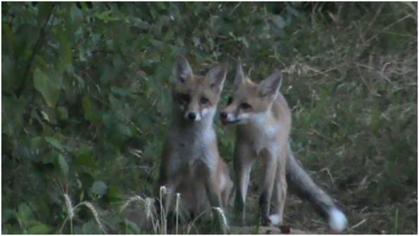 Volpi (Vulpes vulpes) a Selvazzano Dentro
