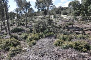 Foresta demaniale Marganai, area dei primi interventi di taglio (loc. Caraviu e su Isteri, Comune di Domusnovas)
