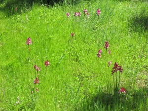 Prato e Orchidee (archivio Benthos)