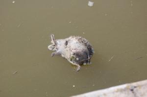 """parco naturale regionale """"Molentargius-Saline"""", Rollone, canale, riccio morto (12 aprile 2015)"""