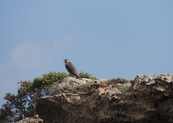 Falco pellegrino (Falco peregrinus, foto Benthos)
