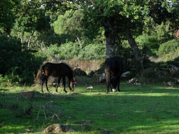 Cavallini della Giara