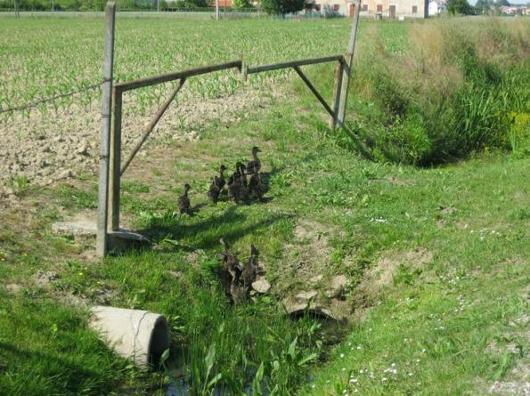 Campagna padovana, ben 14 piccoli di Germano reale (Anas platyrhynchos) seguono la madre lungo un fosso (maggio 2015)