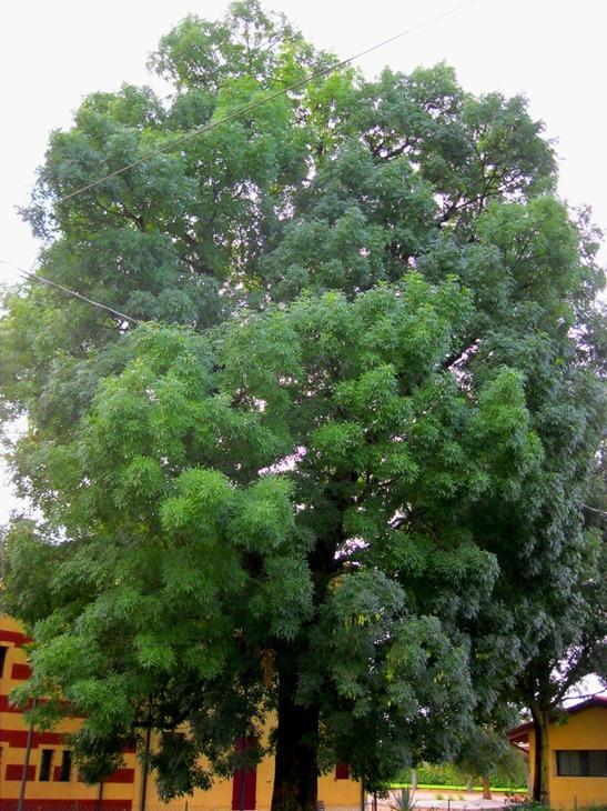 """Veggiano, albero monumentale """"ignoto"""" all'Amministrazione comunale"""