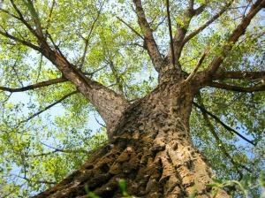 Veggiano, albero