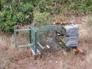 Gazza (Pica pica) in una gabbia da richiamo (ott. 2015)