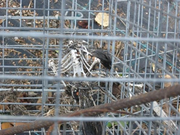 Due Carrare, scheletro di Gazza (Pica pica) in una gabbia da richiamo (ott. 2015)