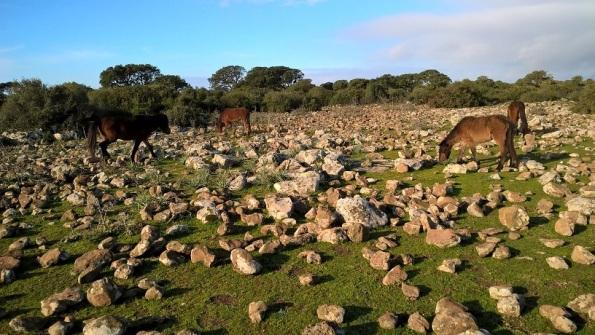 Cavallini della Giara al pascolo presso Pauli Maiori