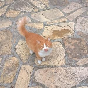 Gatto (Felis catus)