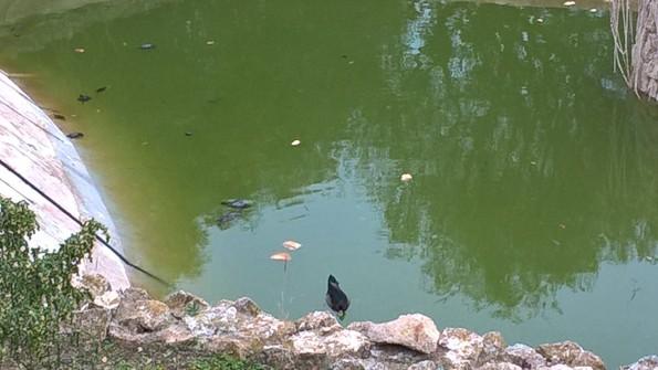 Cagliari, parco comunale di Monte Urpinu, Tartarughe d'acqua nel laghetto di Via Vidal (5 gennaio 2016)