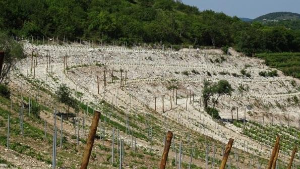 Vegro di Monte Cecilia, Baone, vigneto di nuovo impianto
