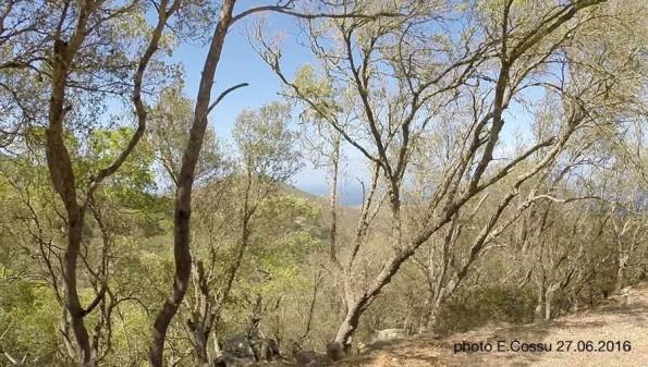 Asinara, Elighe Mannu, alberi defogliati a causa della Lymantria dispar