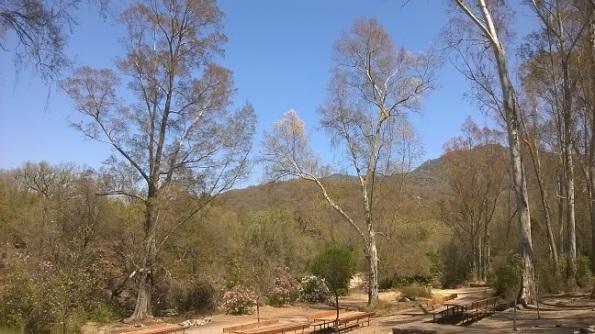 bosco di Fanebas, alberi privi di foglie a causa della Lymantria dispar (luglio 2016)