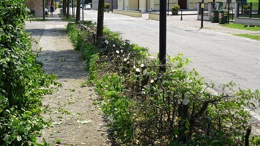 Via Borgo S. Maria a S. Maria di Veggiano, la siepe di Carpino dopo il taglio