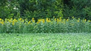 fascia di Girasoli ai margini di un campo di Soia, utile per la presenza di insetti e avifauna selvatica
