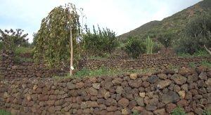 Isola di Stromboli, Ginostra, piantumazione di alberi di varie specie su terrazzamenti recenti (giugno 2016)