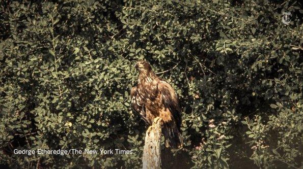 New York, giovane Aquila di mare dalla testa bianca