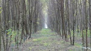 Cervarese S. Croce, piantagione di Robinia
