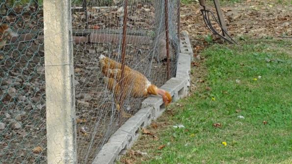Monselice (PD), pollaio protetto da recinzione