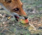 volpe-frutta-foto-s-vaccher