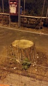 Roma, Piazza della Balduina, pino tagliato per motivi non conosciuti (dicembre 2016)